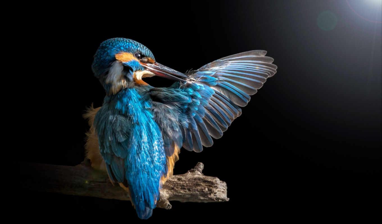 kingfisher, птица, ворона, branch, колибри