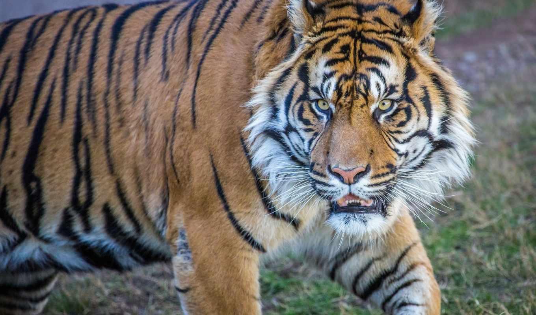 животные, конкурс, тигры, категории, телефон, дикая, кошка, тигр, rusfighters,