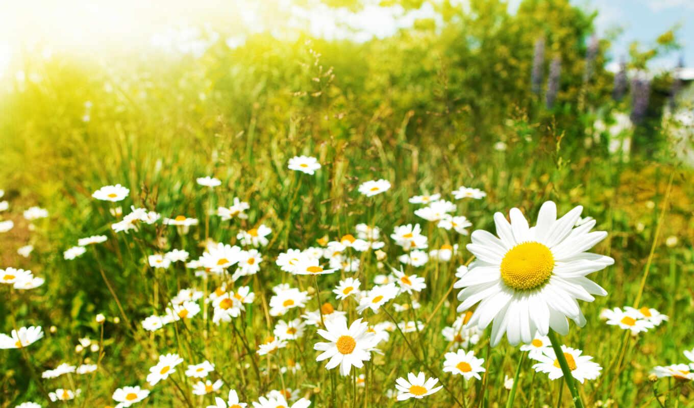 цветы, ромашки, поле, ромашка,