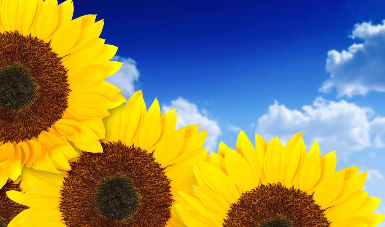 макро, подсолнух, природа, подсолнухи, цветы, поле,