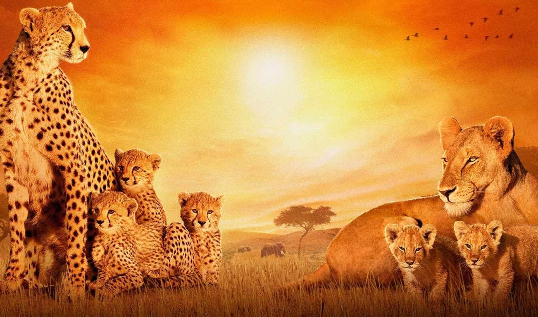 cats, quotes, фоны, прикольные, african, заставки, львы,