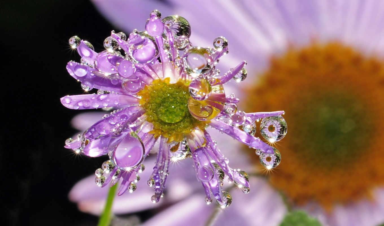 капли, цветок, drops, flowers, роса,