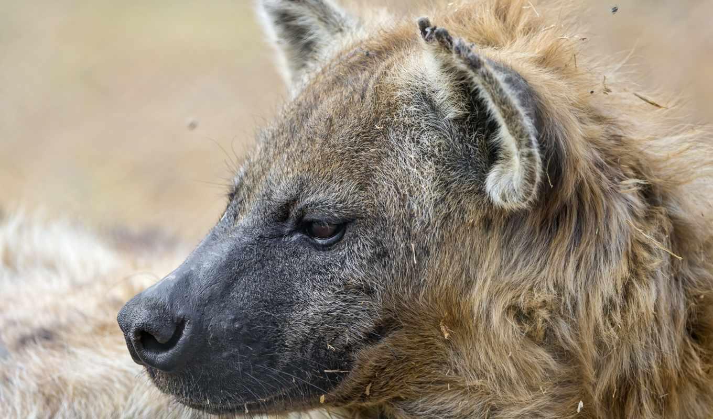 животные, голова, гиены, фотографии, windows, сайте, нашем,