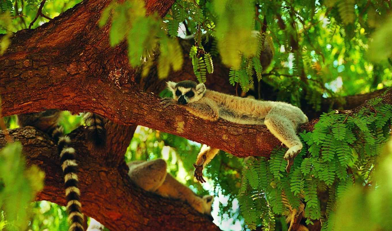 lemur, спит, дерево, кот, лемуры,