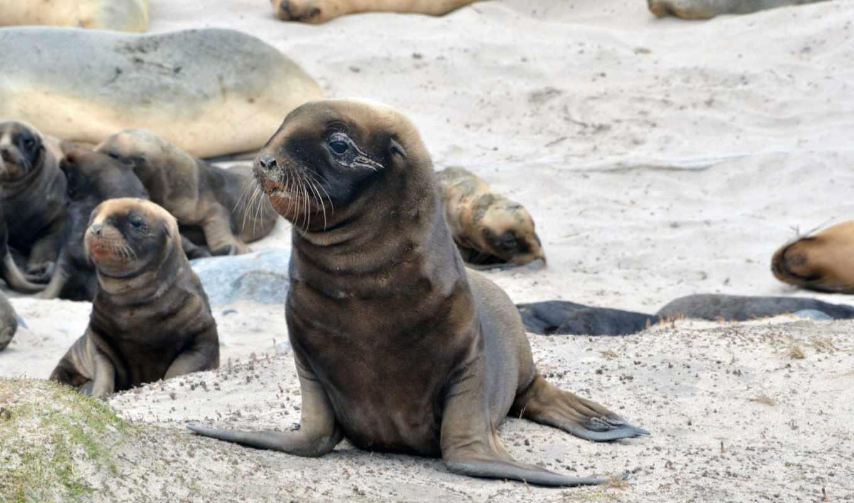 тюлень, морские, котики, море, тюлени, ластоногие, zhivotnye, животных, морских, картинка,