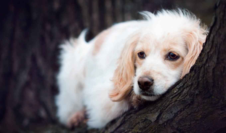 собака, грустная, картинка, взгляд, desktop, mac,