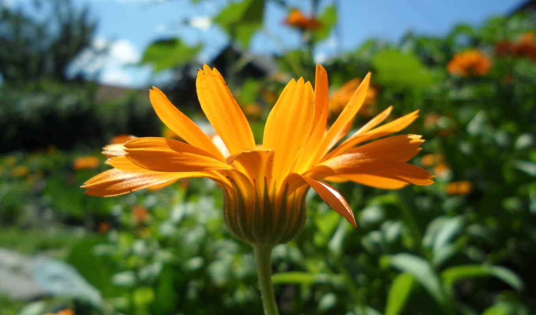 цветы, лето, макро, картинка,