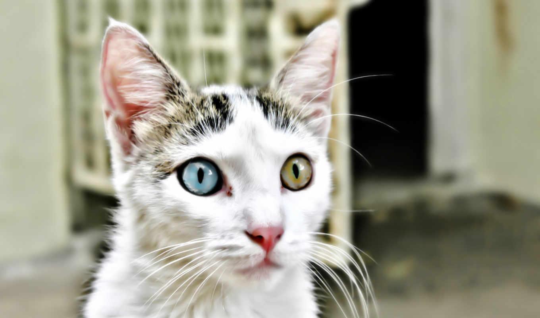 кот, глазами, глаза, гетерохромия, разные, разными,