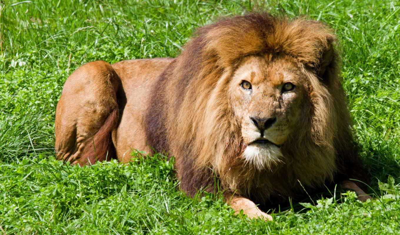 кошки, животные, трава, грива, разделе, lion, нов, кот,