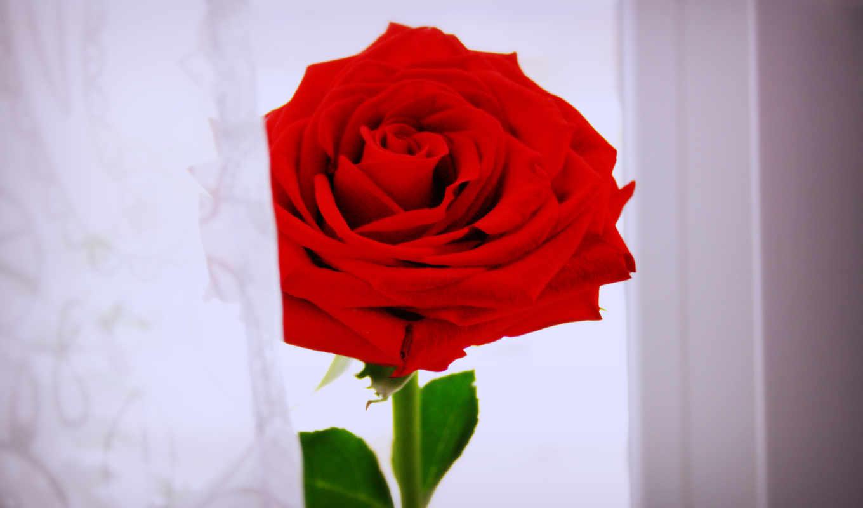 розы, цветы, red, букеты, роза,