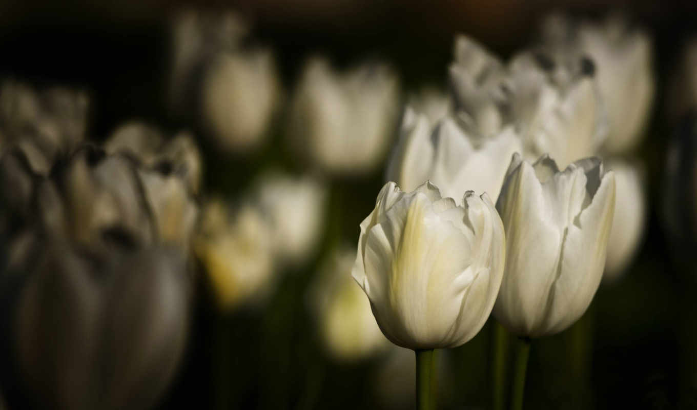 тюльпаны, белые, cvety, pole, клумба,