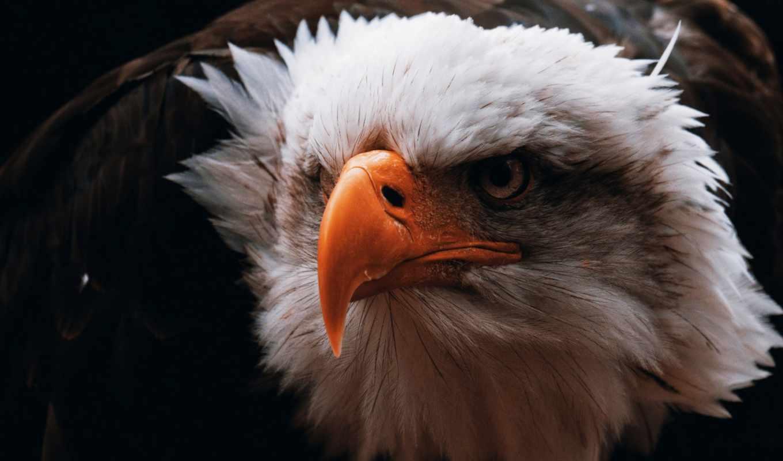 клюв, птица, орлан, взгляд, хищник, голова, агрессия, перья,