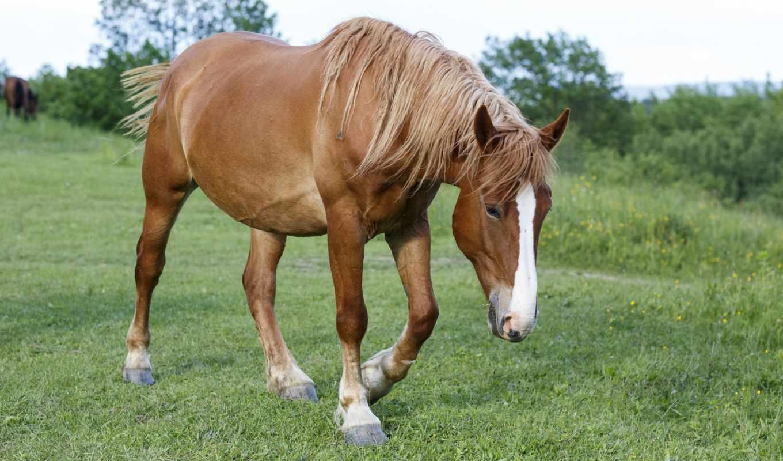 лошадь, animal, desktop, animals,