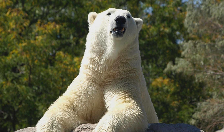 медведь, white, polar, высоком,
