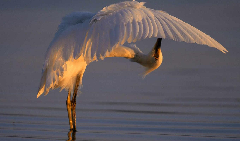 картинку, изображение, белая, picture, over, размере, животными, birds, цапля, snowy, просмотреть, реальном, egret, backwards, bending,