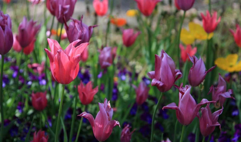весна, тюльпаны, цветы,