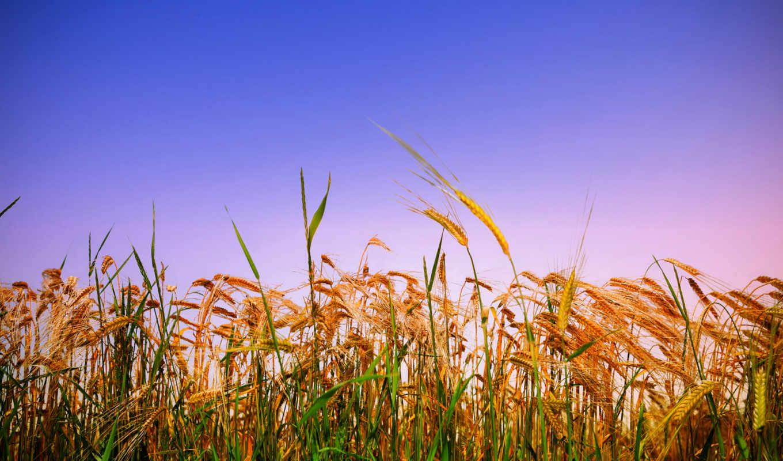 колосья, поле, пшеница, злаки, summer, rye, хлеб,