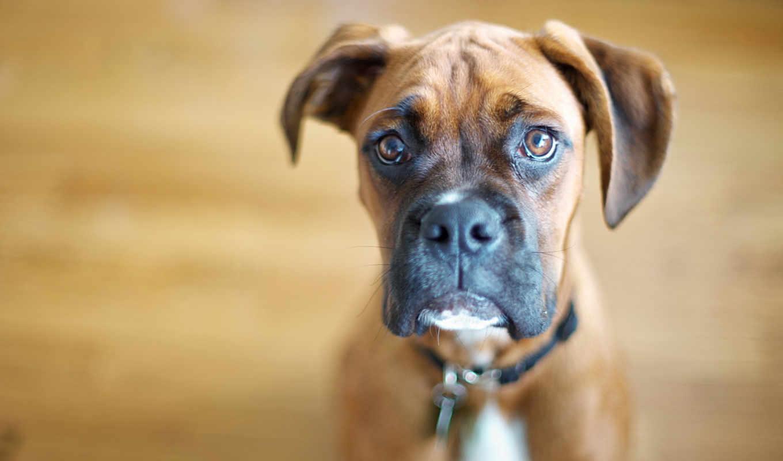 собака, собаки, порода, собак, german, boxer, породы,