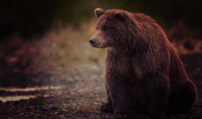 медведь, мокрый, бурый, сидит, животные, косолапый,