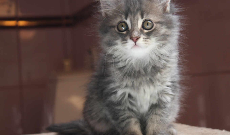 котенок, серый, кот, морда, дымчатый, взгляд, картинка,