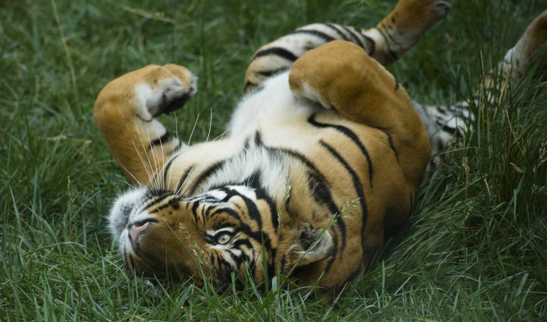 тигры, кошки, тигр, дикие,
