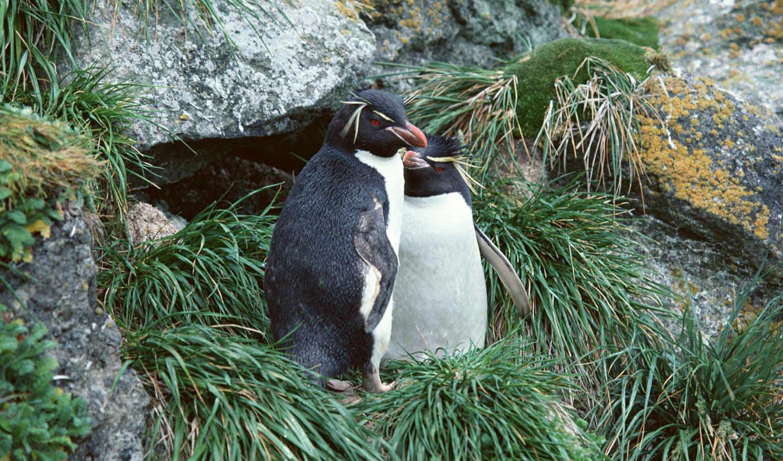 пингвин, фотообои, птицы, пингвины, клювы, ласты, pygoscelis, папуа, телефон, стену, svg,