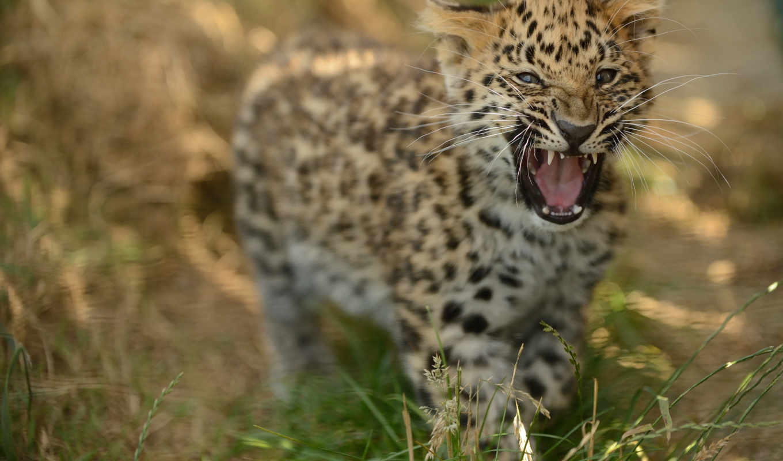 обои, леопард, фото, амурский, животные, рык, детё