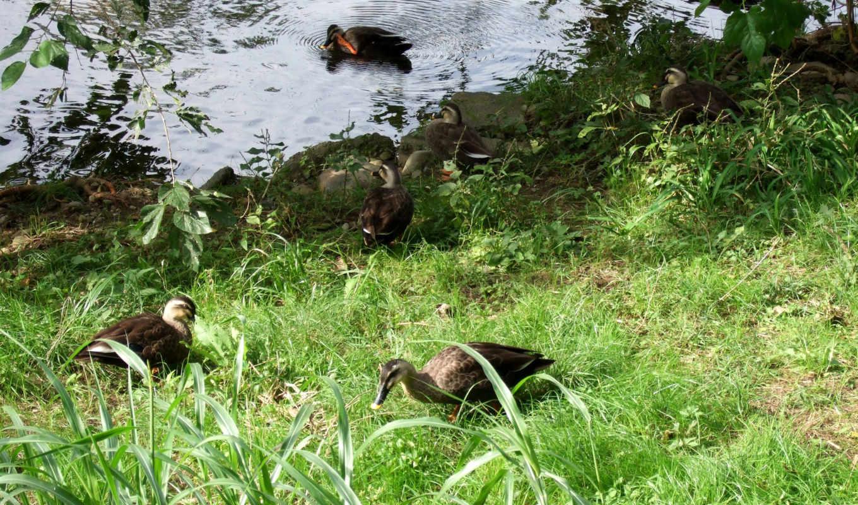 животные, птицы, утки, обои, фото, birds, ducks, a