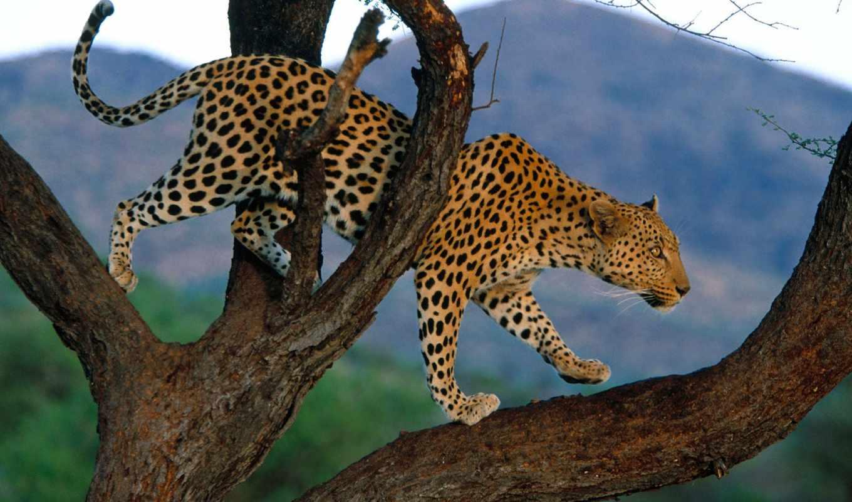 леопард, леопарды, zhivotnye, дереве,