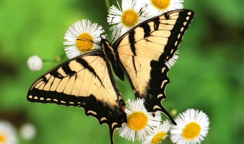 butterflies, free, бабочка, photos, desktop,