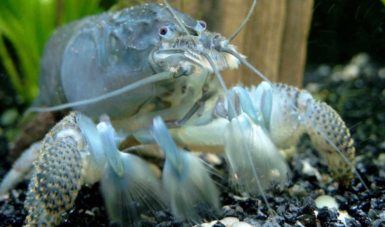 рак, blue, omar, раки, crab, кубы, painted, procambarus, cubensis, зооклубе,