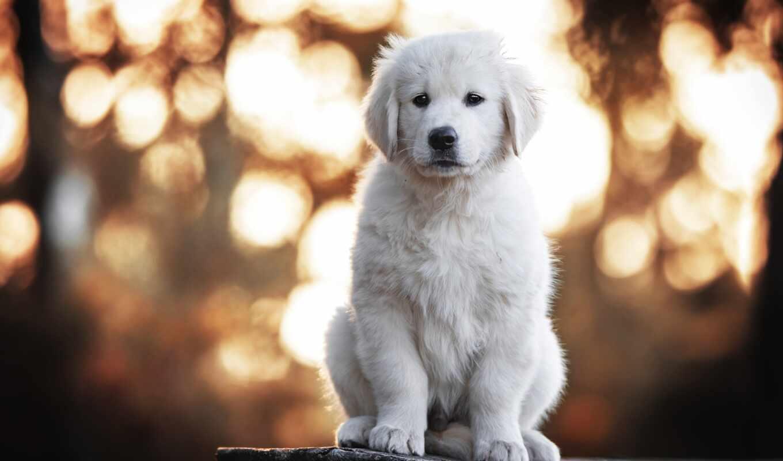 animal, огромный, собака, baby, depth, щенок, поле