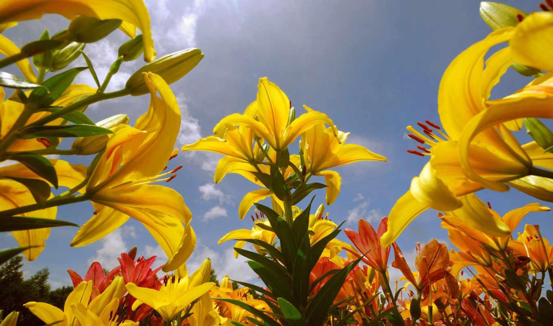 flowers, lily, resolution, цветы, желтые, солнце, desktop, background, download, description, widescreen, yellow, lilies,