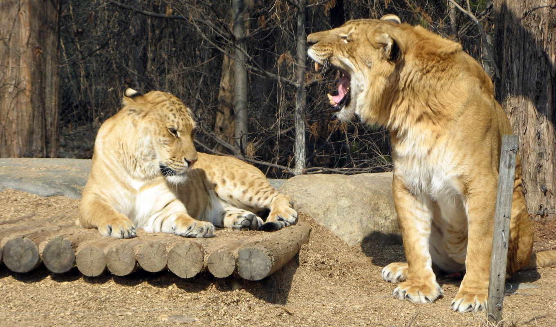 англ, hybrid, льва, лигр, тигра, тигр, самкой, lion, тигрицы, самцом, между, liger,