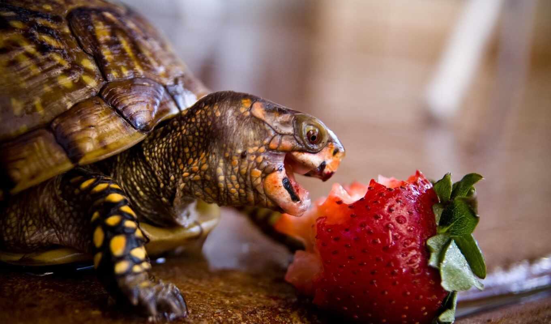 черепаха, home, land, reptile, arm, мыло, связь, lubimica, wash