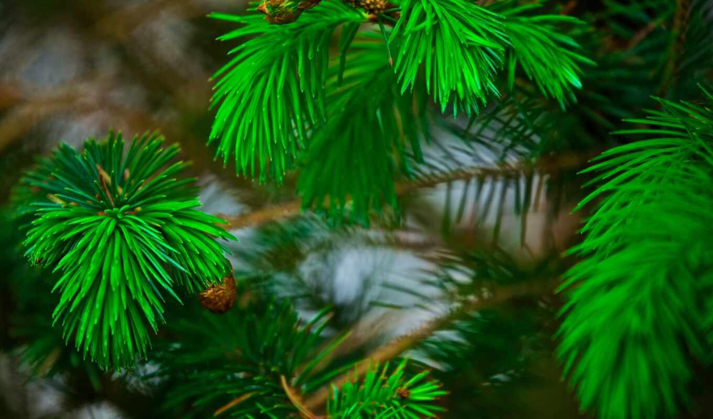 ветка, эль, priroda, igolka, елка, pihta, ветвь, листь, дерево, бесплатный, снег