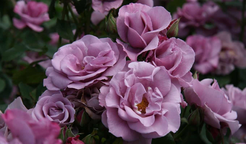 bush, розы, цветы, бутоны,
