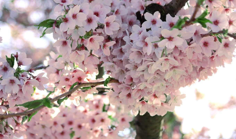 весна, цветы, цветение, branch, Сакура,