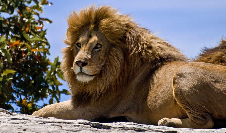 львы, животных, львів, lion, animal, животные,