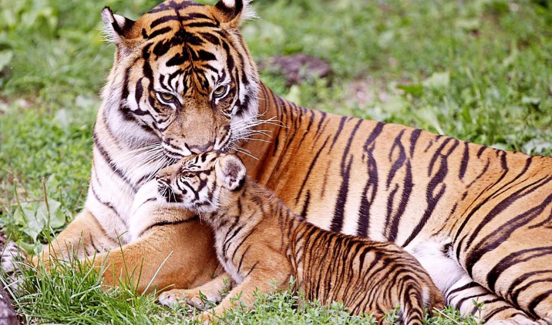 tigre, tigers, baby, bebe, тигр, pantalla, animaux, fotos, animales,