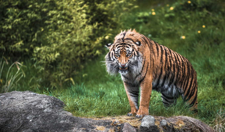 хищник, кошка, ярость, дикая, злость, тигр, картинку,