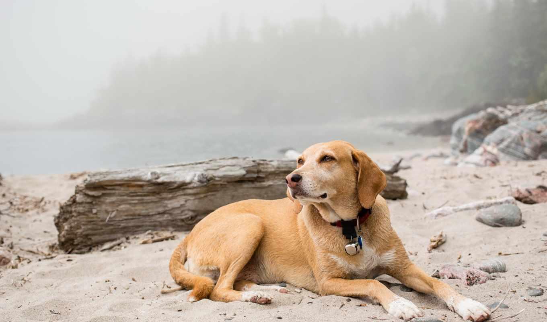 собаки, собака, resting, природа, животные, песок, пляж, black,
