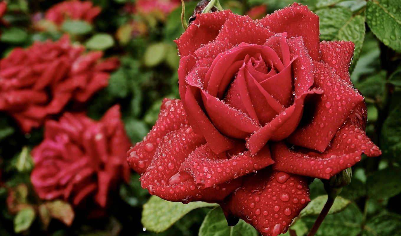 капли, цветы, лепестки, роза, роса, розы, красный,