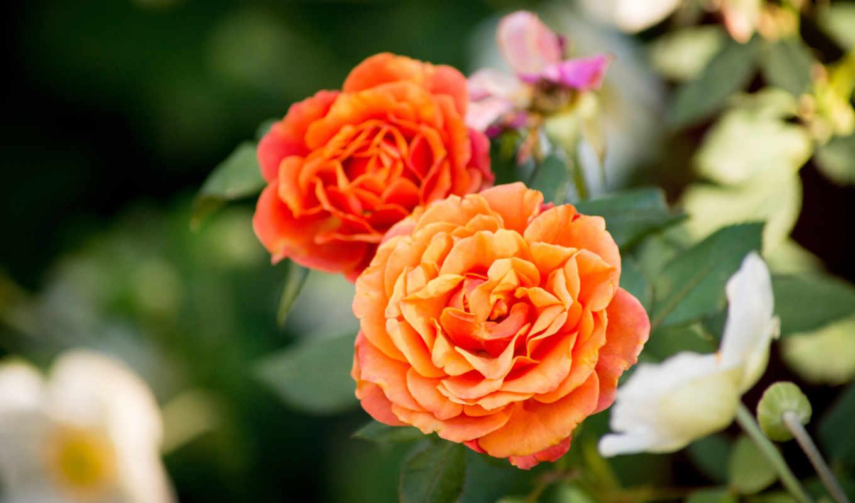 розы, цветы, красные, красивые,