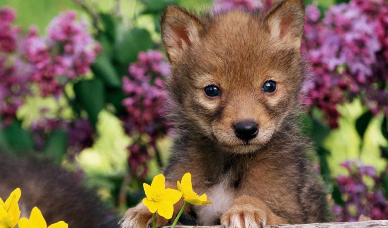 волчонок, маленький, zhivotnye, маленькие, животных,