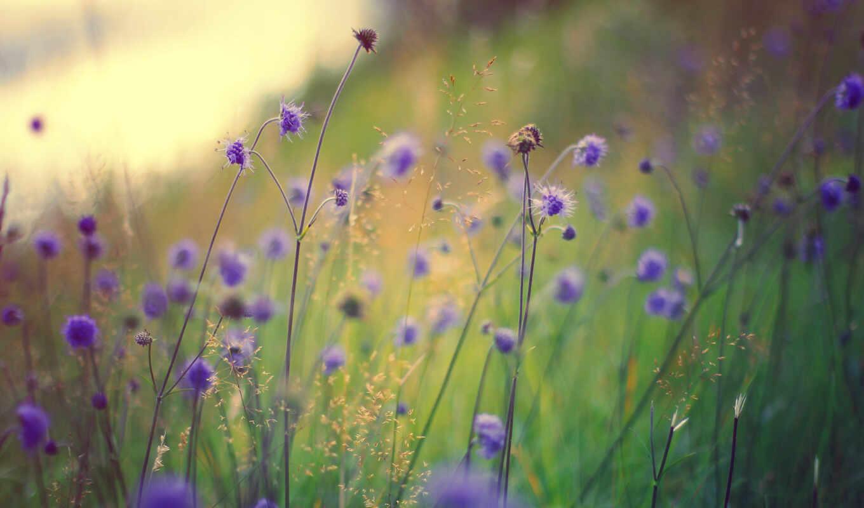 полевые, цветы, сиреневые, макро,