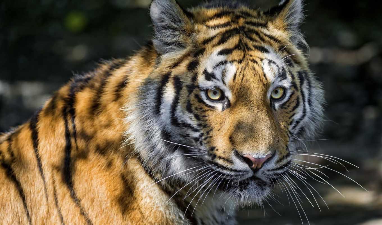 взгляд, тигр, кот, морда, amur,