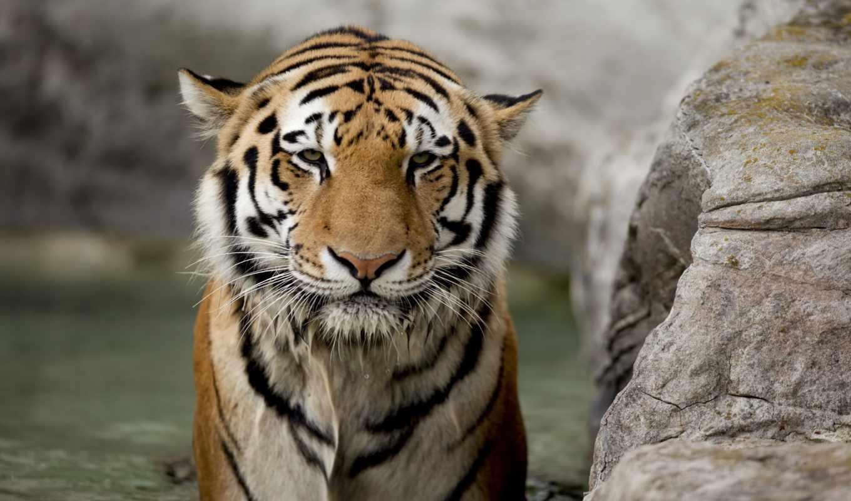 тигр, взгляд, морда, кот, white, заставки, amur, full, удивлен, кошки,