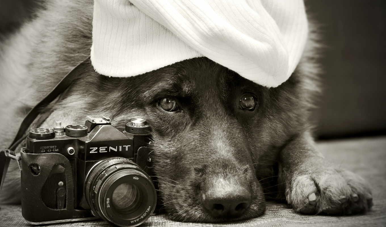 собака, фотоаппарат, овчарка,