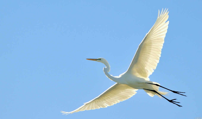 цапля, картинка, full, птица, полет,